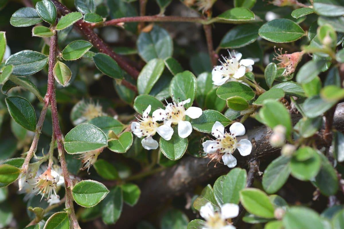 Teppich-Zwermispel - Cotoneaster dammeri 'radicans