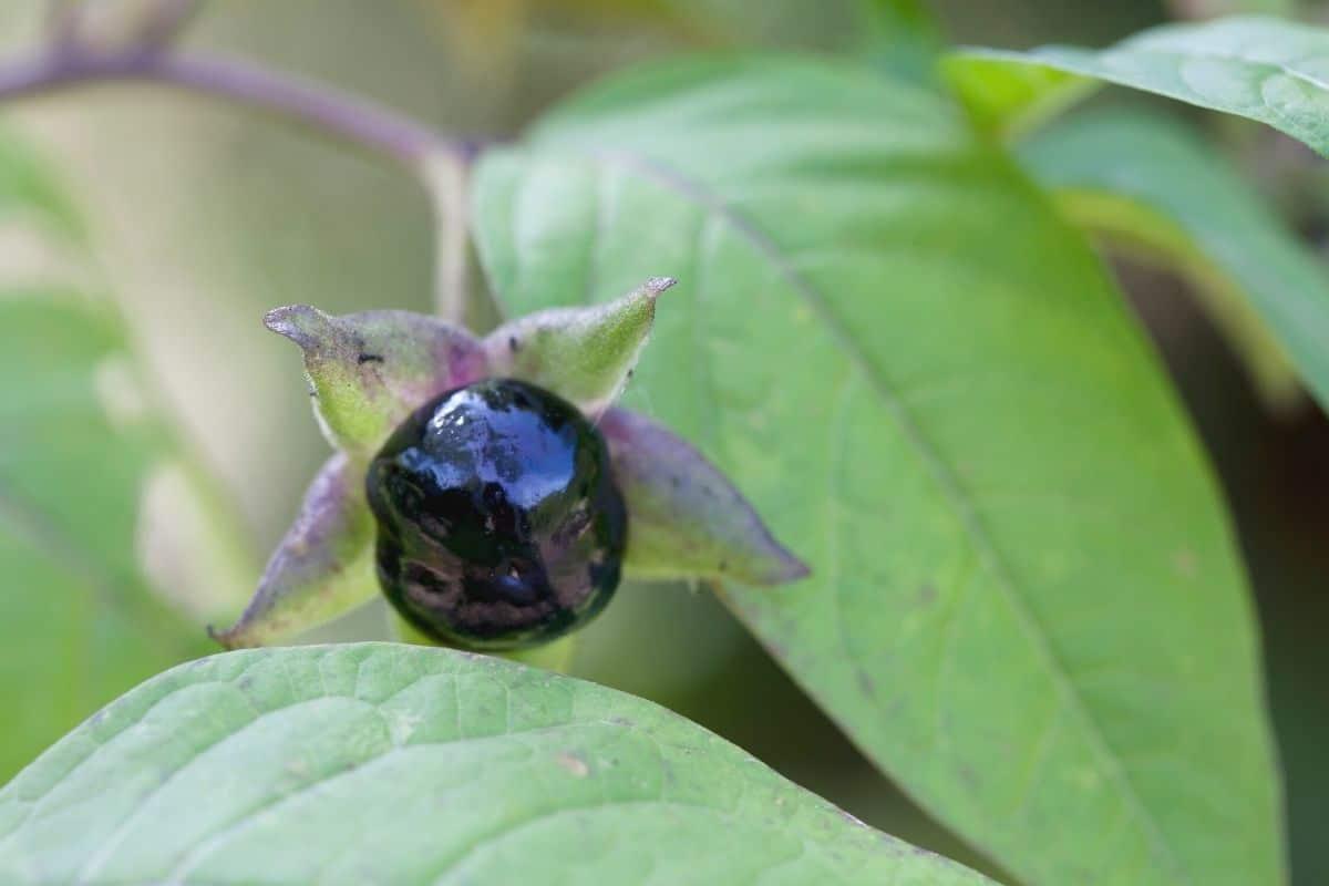 Tollkirsche - Atropa belladonna