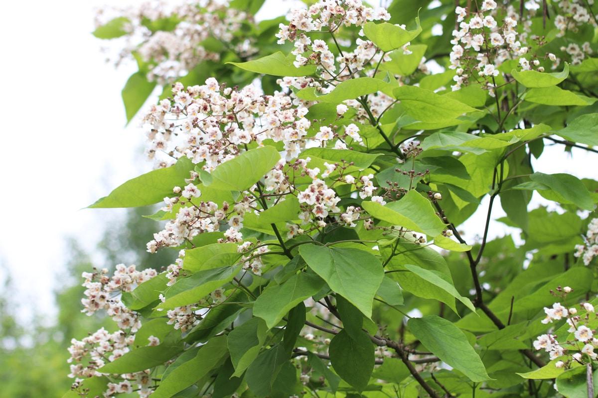 Trompetenbaum - Catalpa bignonioides