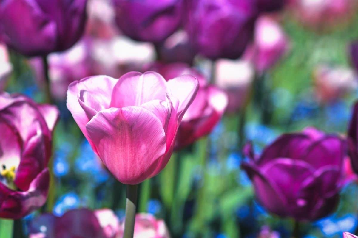 Lila Frühblüher - Tulipa 'Negrita'