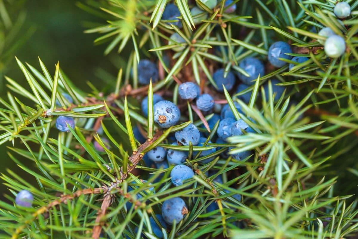 Gemeiner Wacholder - Juniperus communis