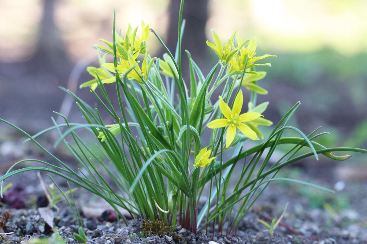 Wald-Gelbstern - Gagea lutea
