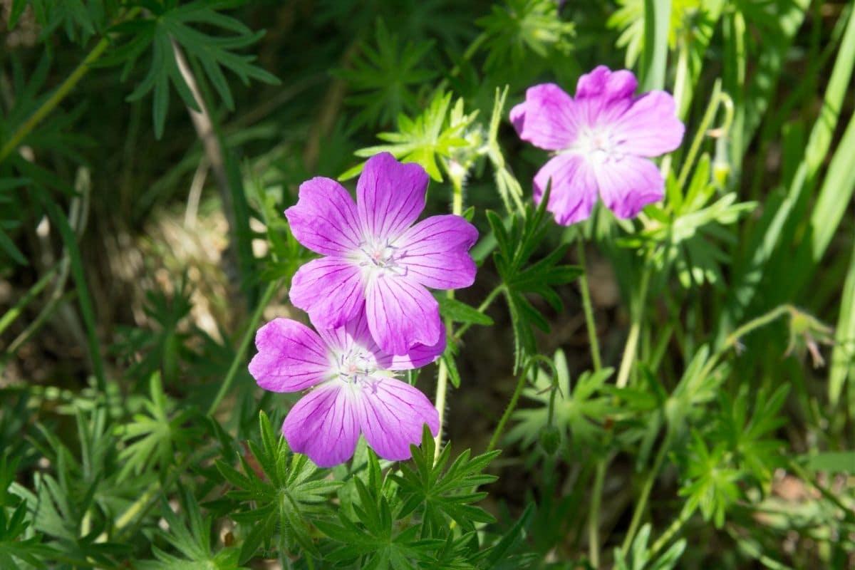 Wald-Storchschnabel - Geranium sylvatica