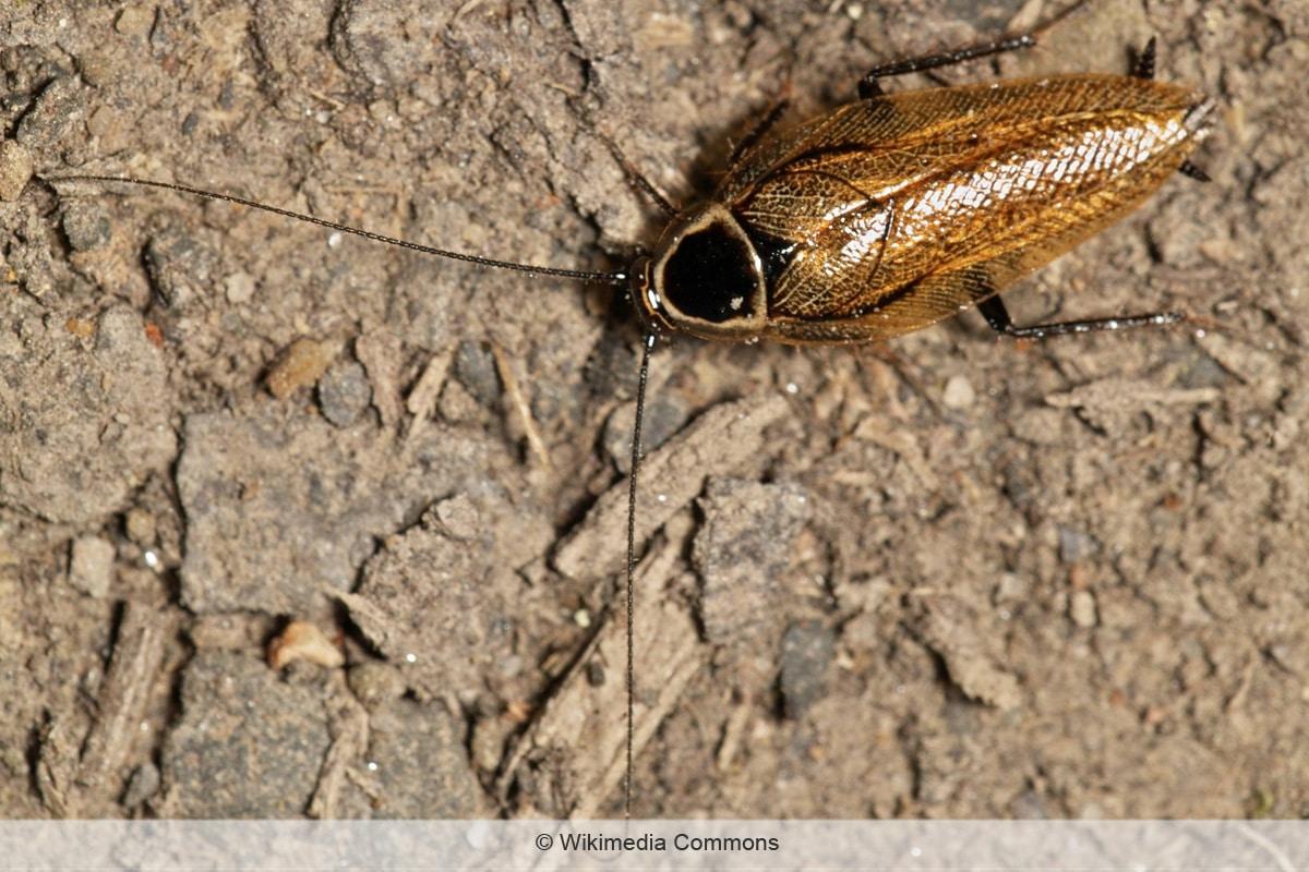 Schabenarten - Ectobius sylvestris