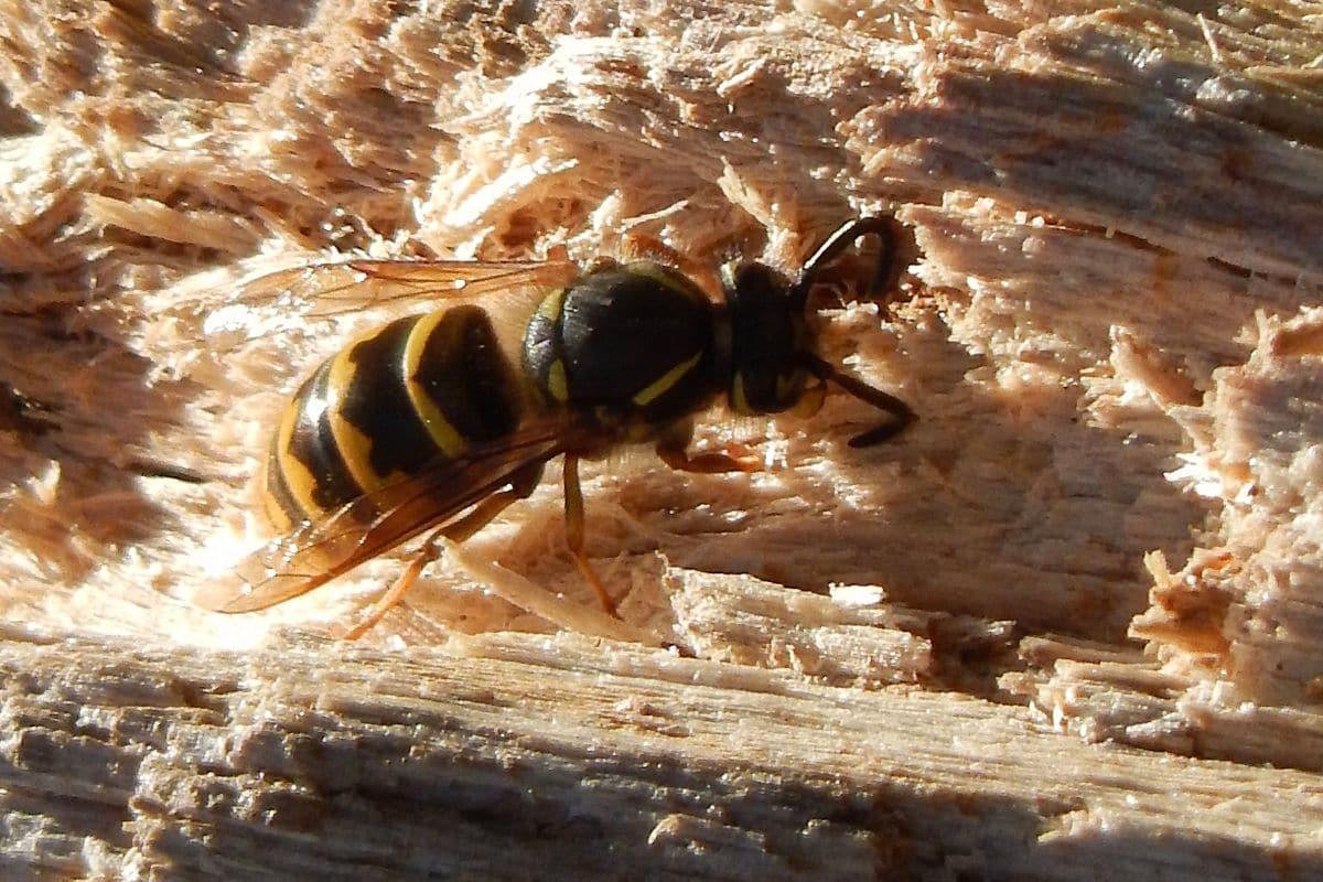 Holz als Material für Wespennest
