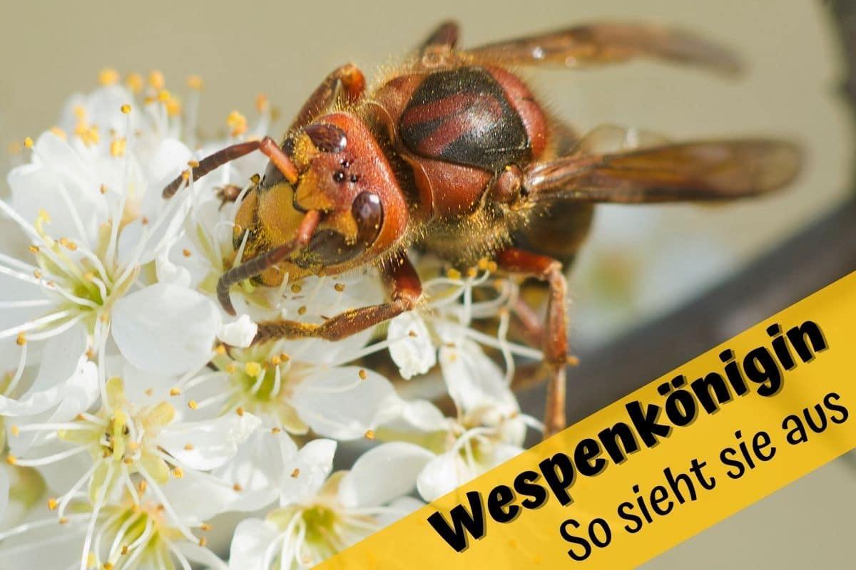 Wespenkönigin erkennen