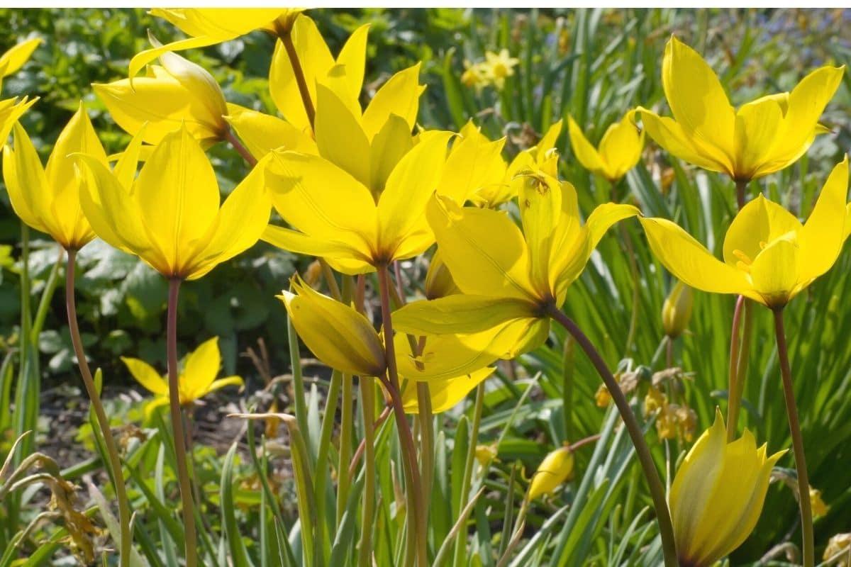 Wilde Tulpe - Tulipa sylvestris