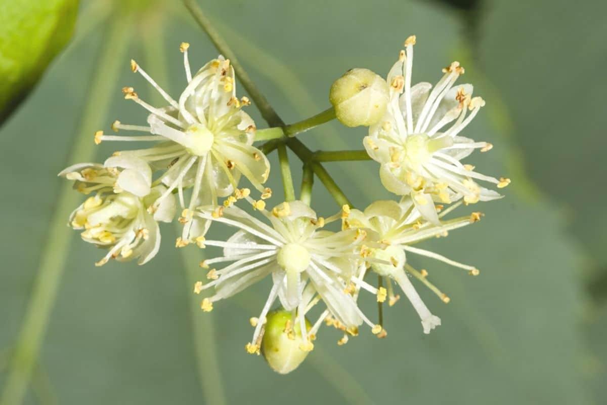 Blüte der Winterlinde