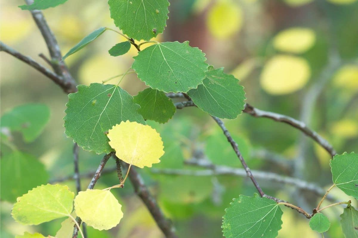 Zitterpappel - Populus tremula