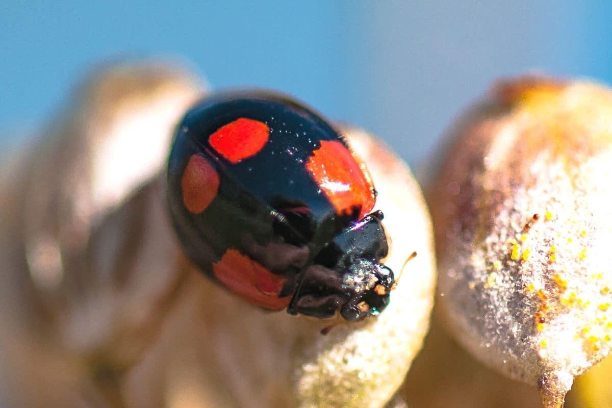 Zweipunkt-Marienkäfer - Adalia bipunctata