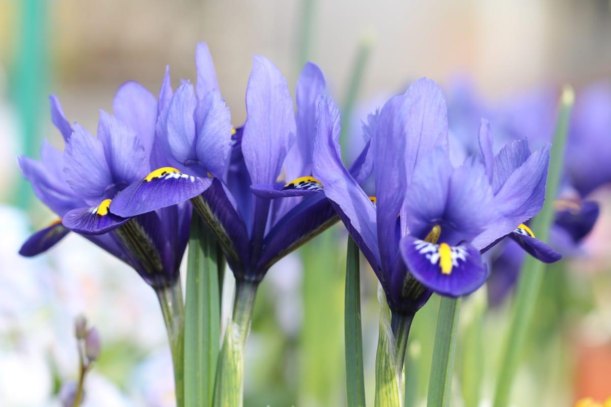 Blaue Frühblüher - Zwerg-Iris 'Harmony'