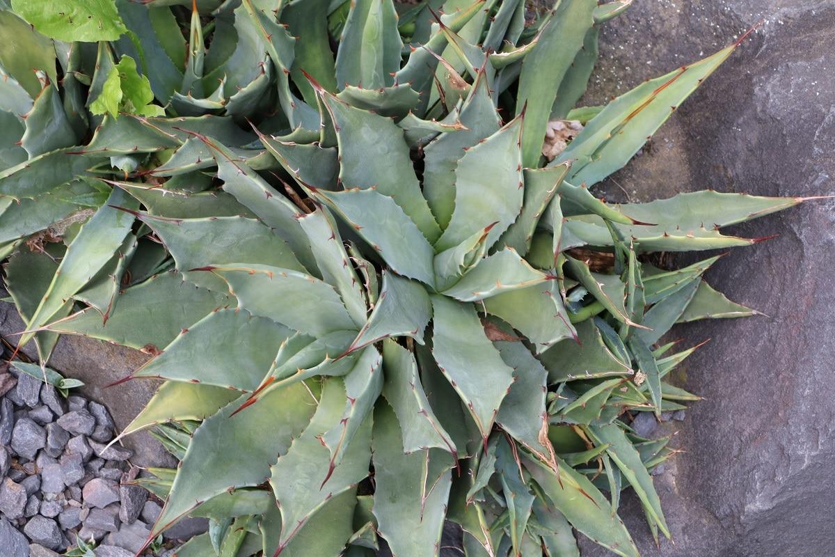 Verwechswechlungsgefahr mit Aloe - Agave parryi