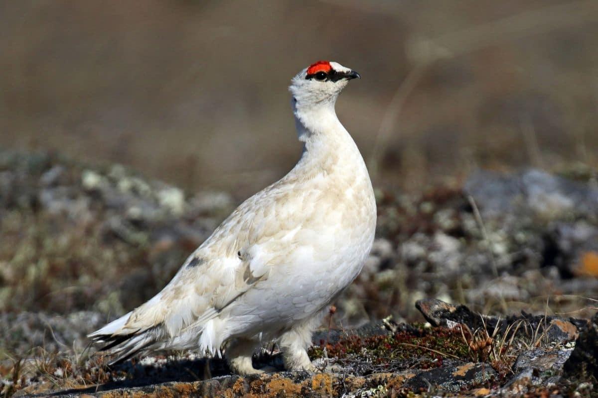 Vogel mit rotem Kopf - Alpenschneehuhn