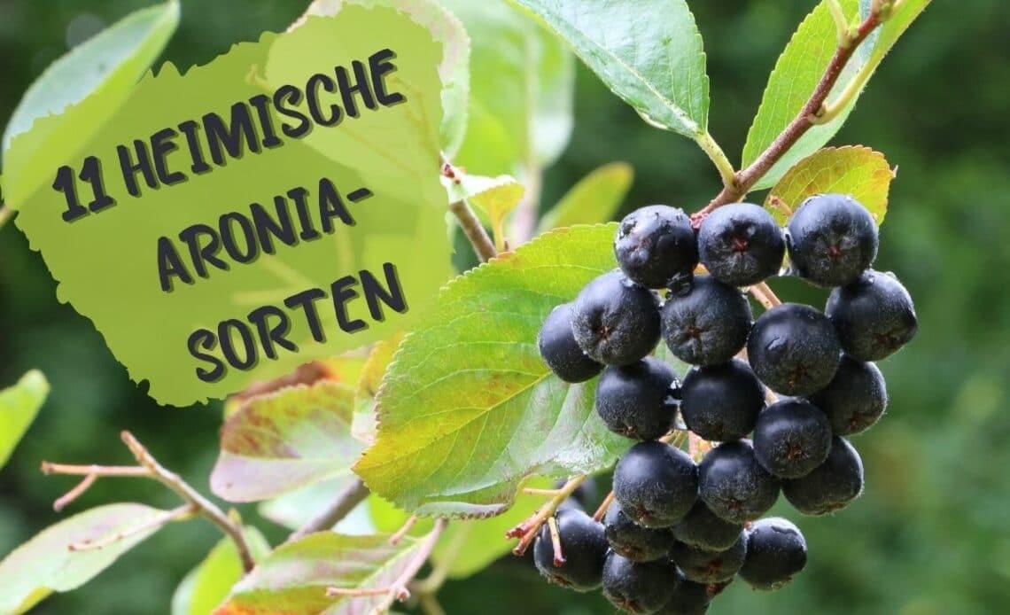 Heimische Aronia-Sorten - Aronia melanocarpa