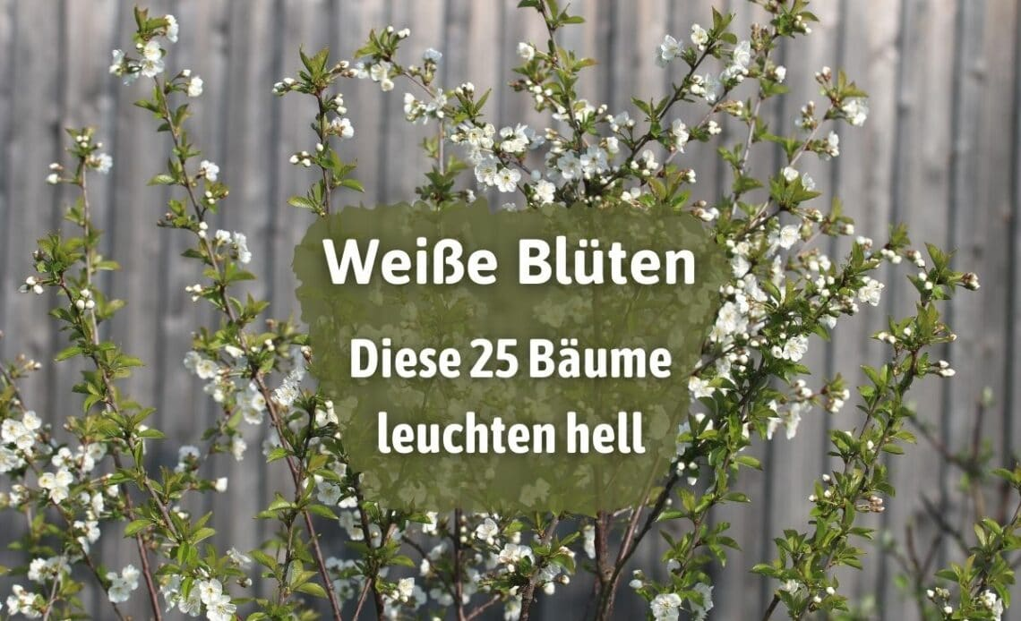 Bäume mit weißen Blüten - Sauerkirsche