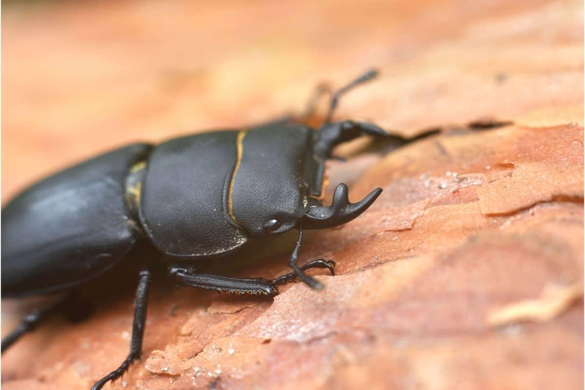 Schwarzer Käfer mit Zangen - Balkenschröter