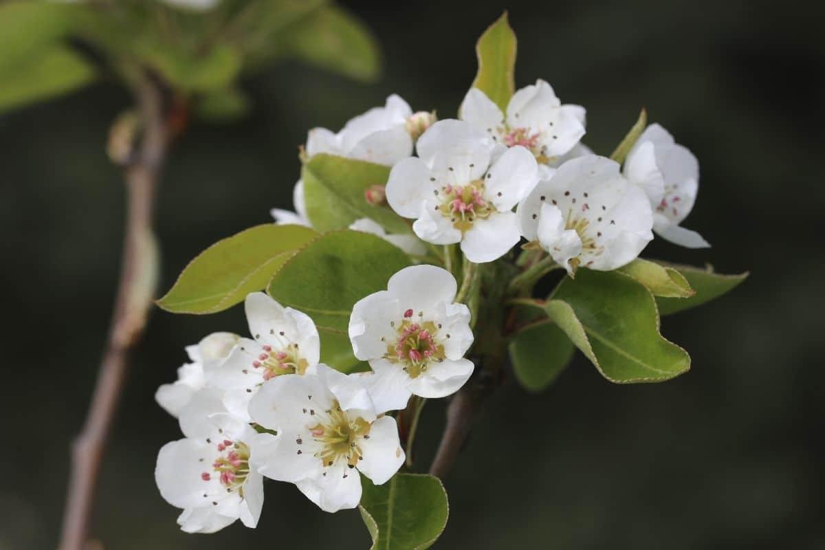 Baum mit weißen Blüten - Birne