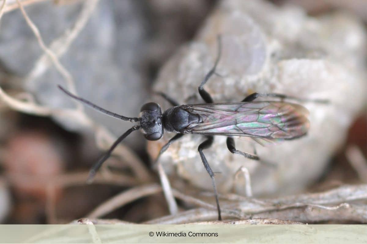 Bleigraue Wegwespe - Pompilus cinereus