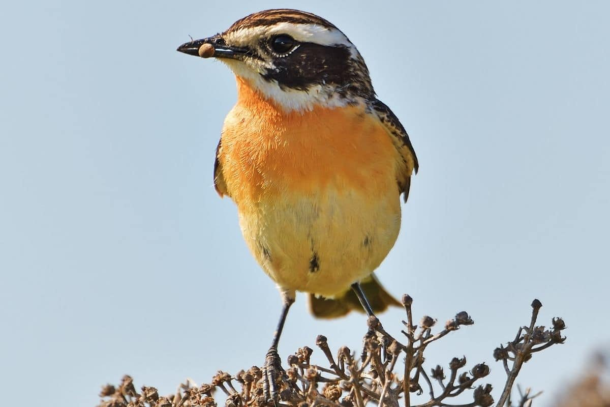Vogel Mit Oranger Brust Bauch Welcher Ist Es Gartenlexikon De