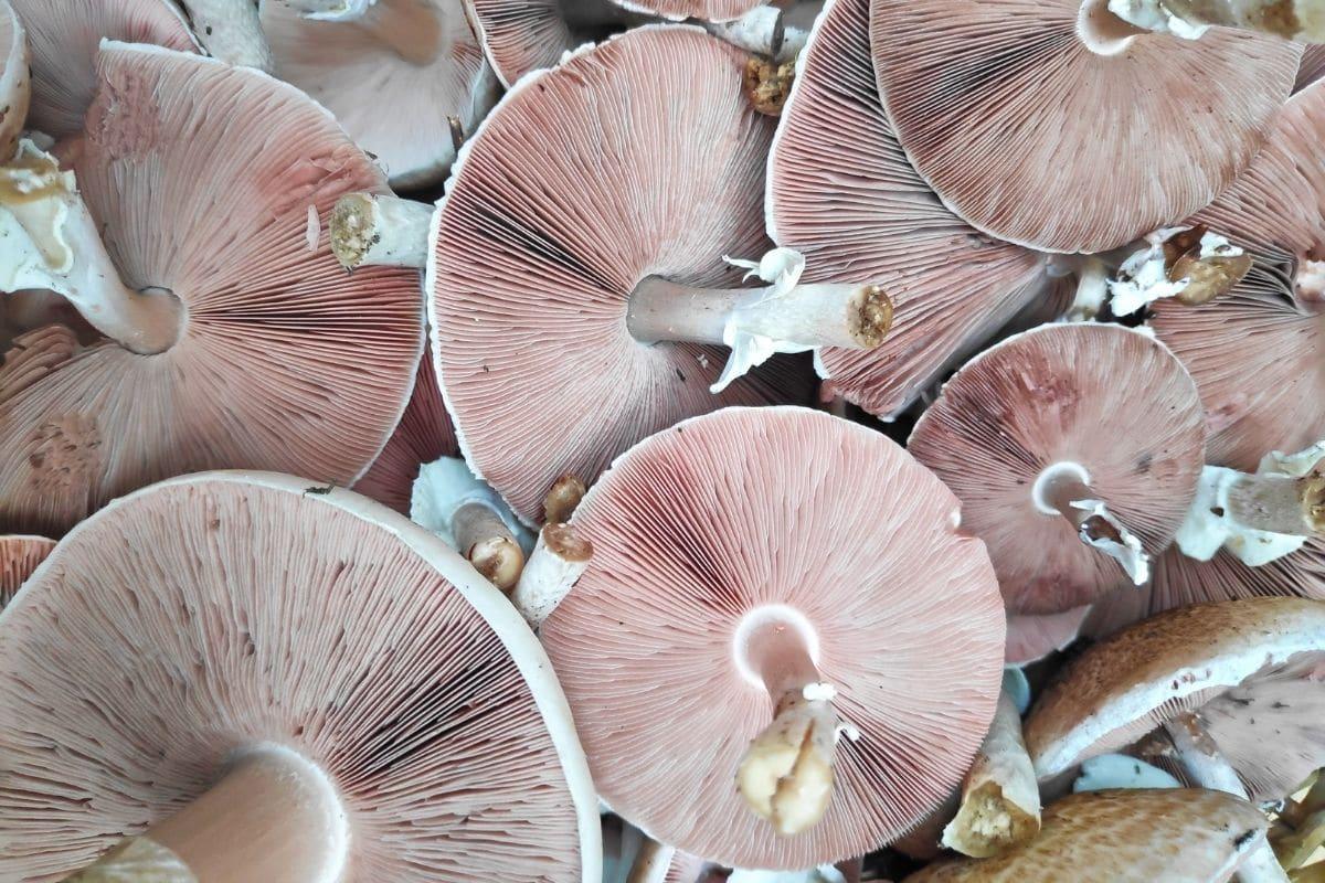 Dünnfleischiger Anis-Champignon - Agaricus silvicola