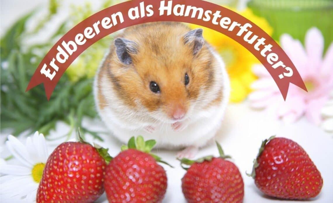 Hamster mit Erdbeeren