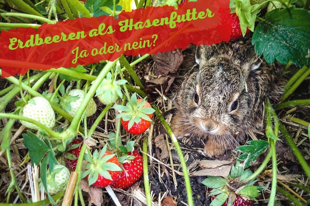 Dürfen Hasen Erdbeeren essen