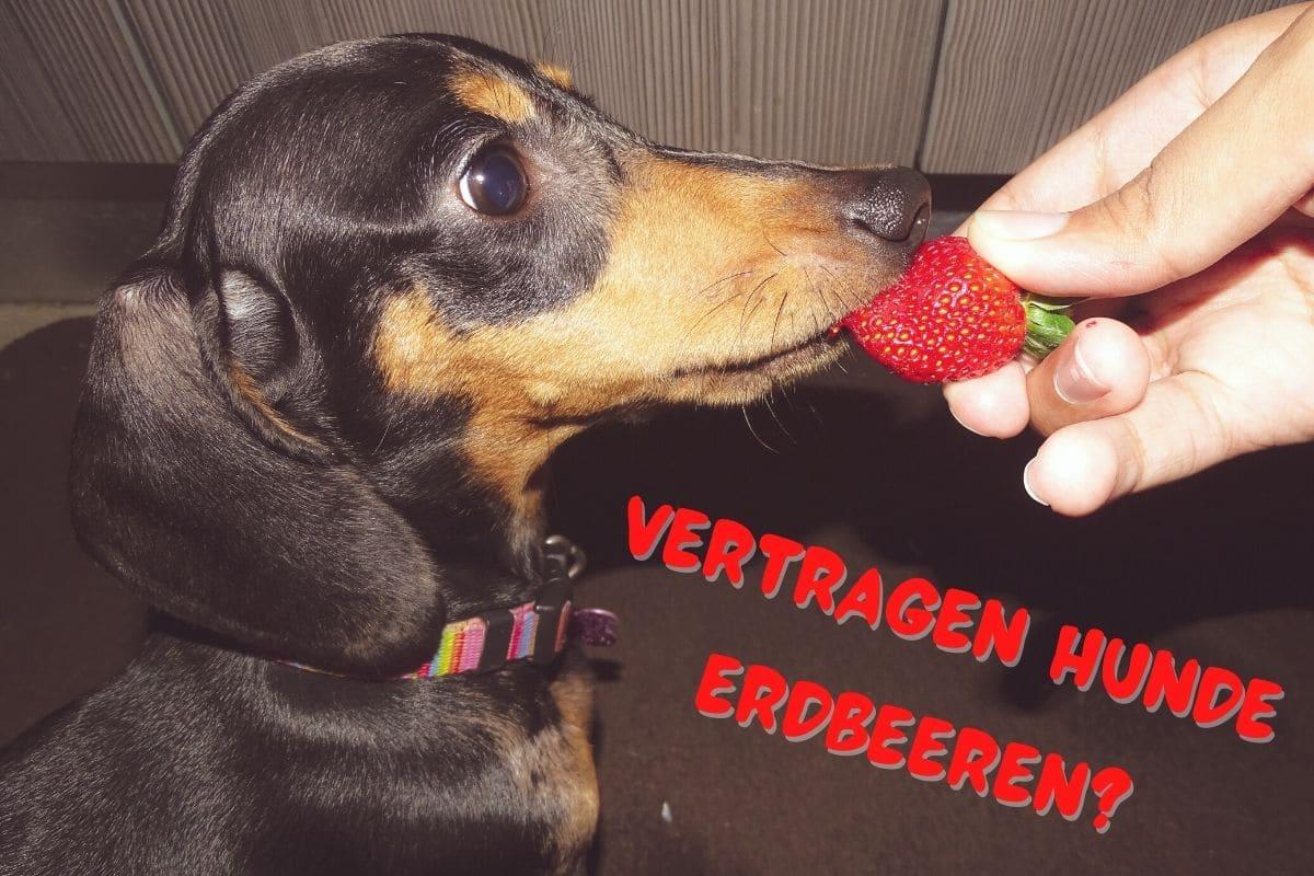 Dürfen Hunde Erdbeeren essen