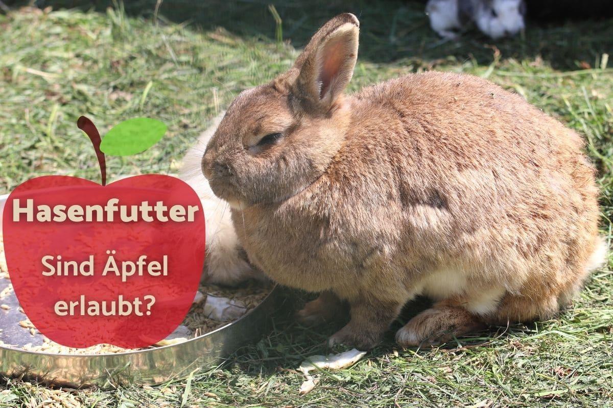 Dürfen Kaninchen Äpfel essen - Hase am Futtertrog