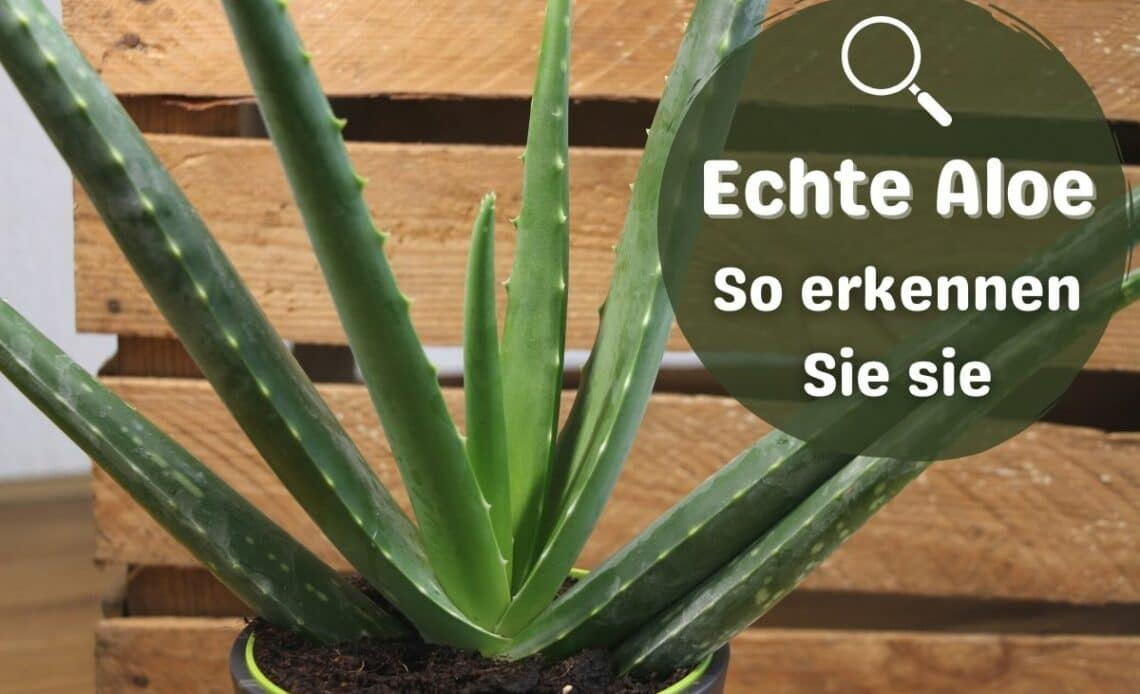 Echte Aloe Vera erkennen