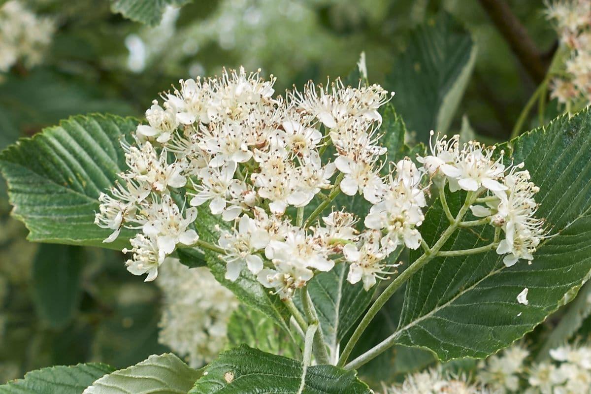 Baum mit weißen Blüten - Echte Mehlbeere