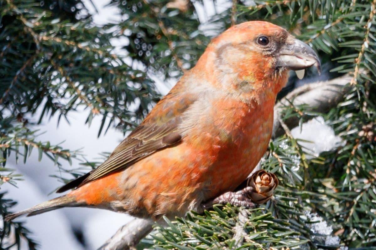 Vogel mit rotem Kopf - Fichtenkreuzschnabel