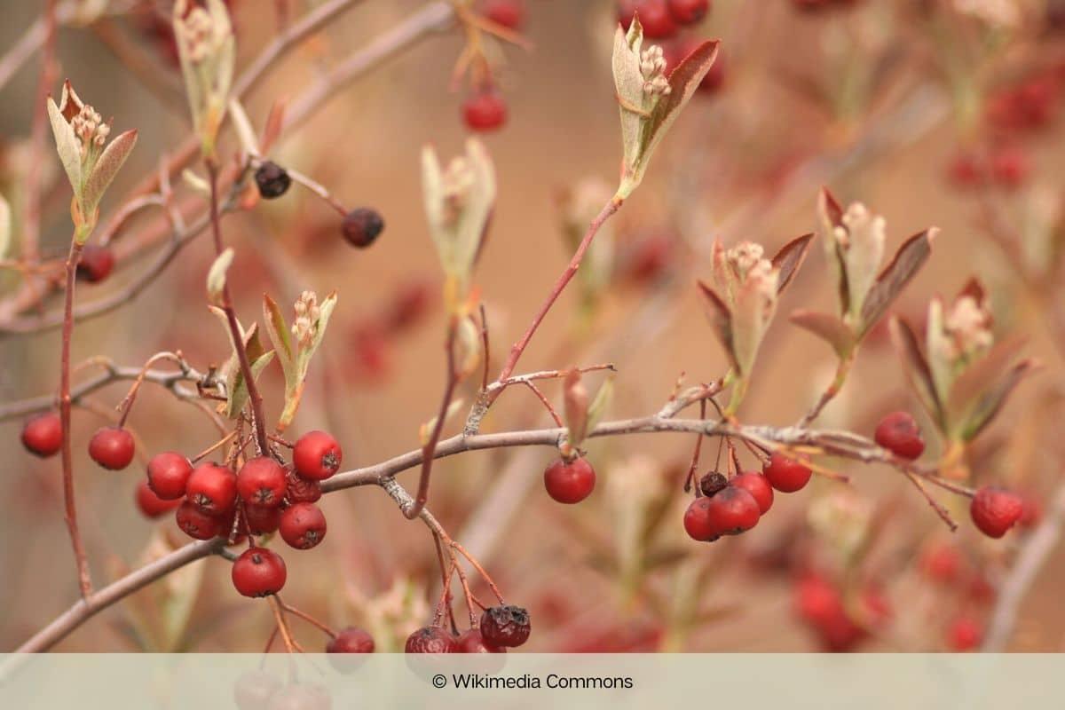 Aronia-Sorten - Filzige Apfelbeere - Aronia arbutifolia