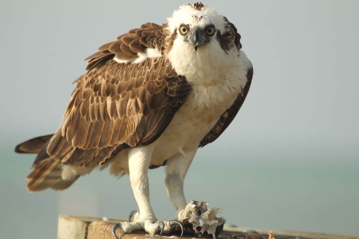 Heimische Greifvögel - Fischadler