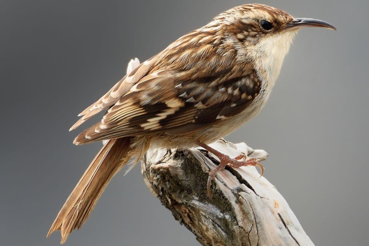 Heimische Standvögel - Gartenbaumläufer