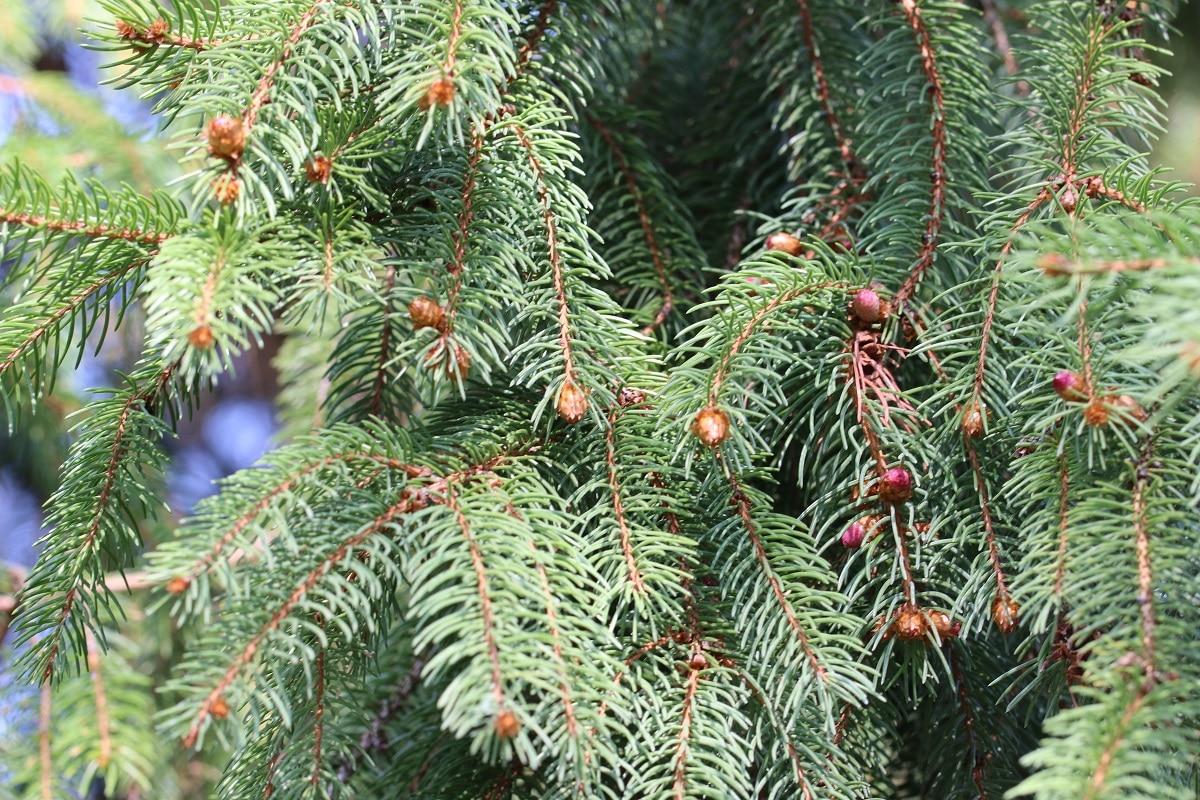 Rotfichte - Picea abies