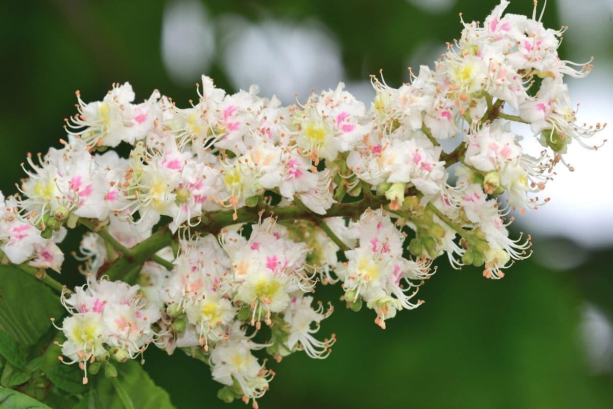 Baum mit weißen Blüten - Rosskastanie