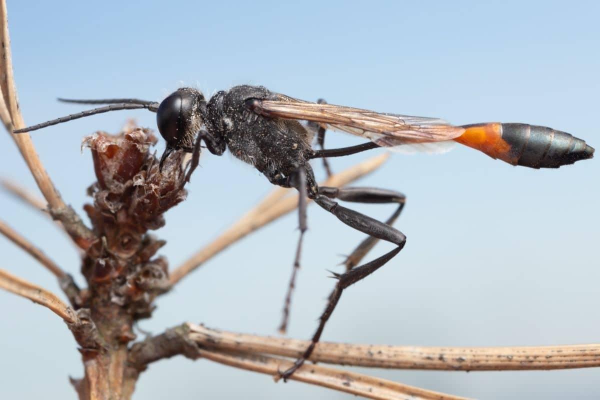 Wespen mit langen Beinen - Gemeine Sandwespe