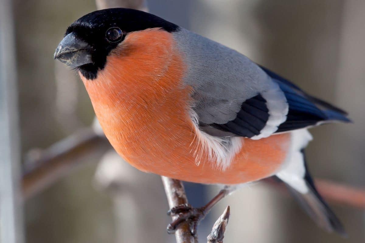 Gartenvögel - Gimpel