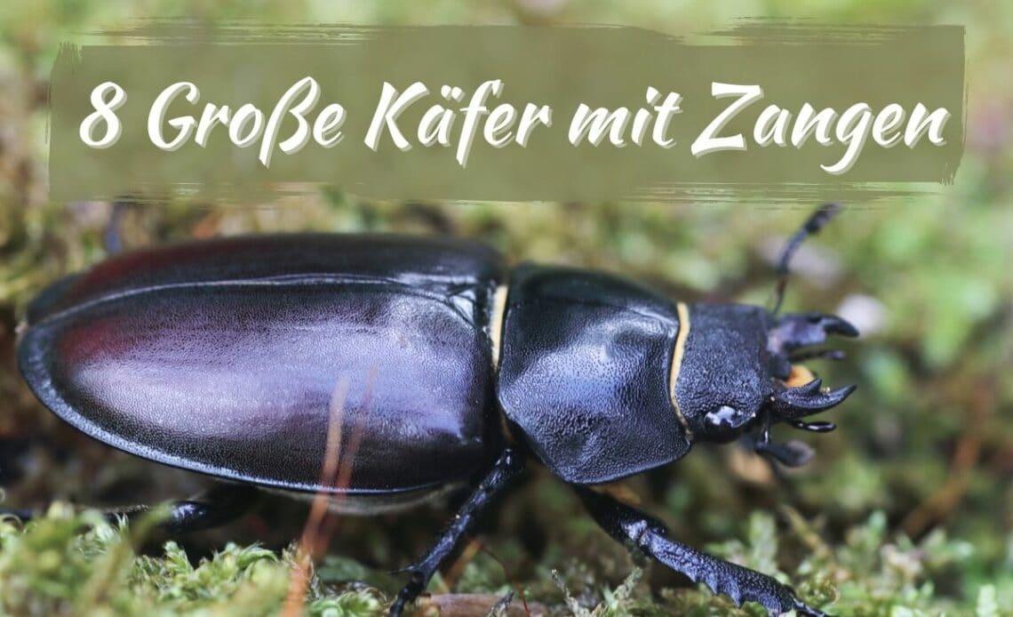 Große Käfer mit Zangen - Hirschkäfer (Weibchen)