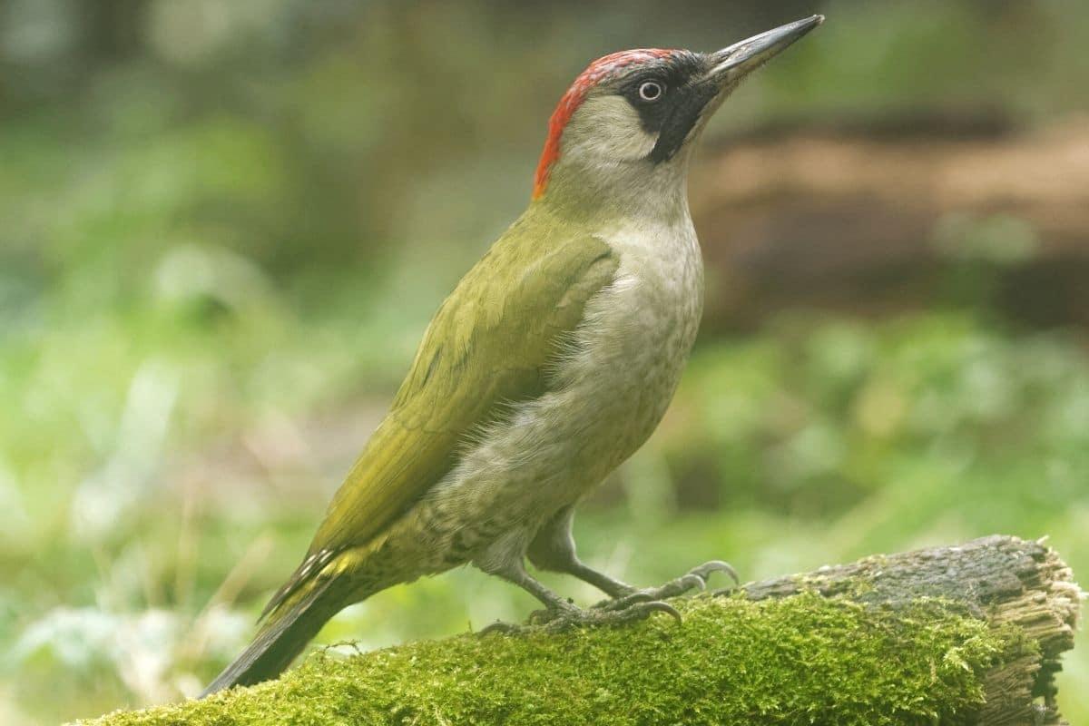 Vogel mit rotem Kopf - Grünspecht