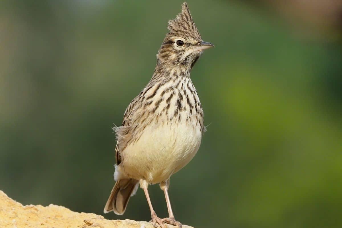 Heimische Standvögel - Haubenlerche