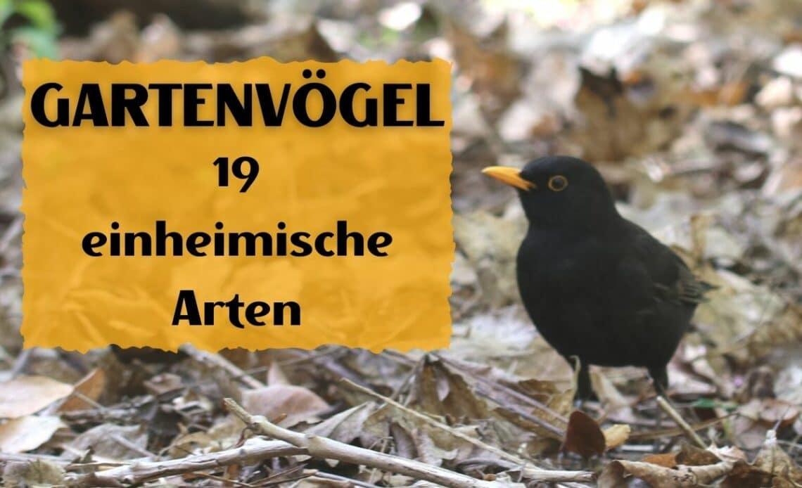 Heimische Gartenvögel - Amsel