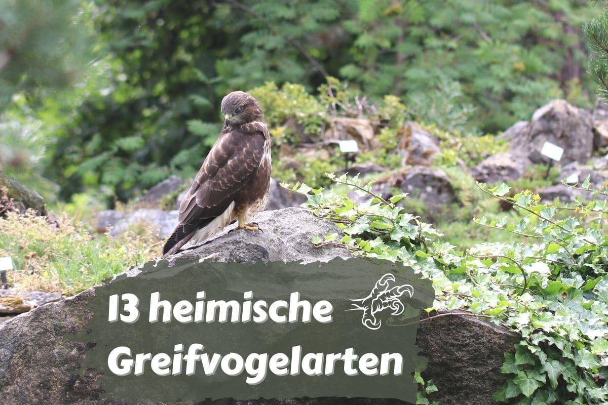 Heimische Greifvögel - Mäusebussard