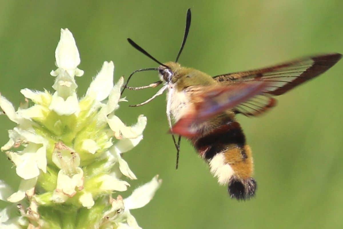 Insekten mit Rüssel - Hummelschwärmer
