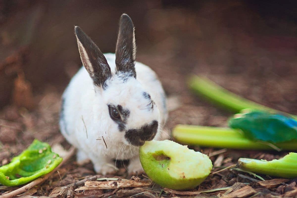 Kaninchen frisst Apfel