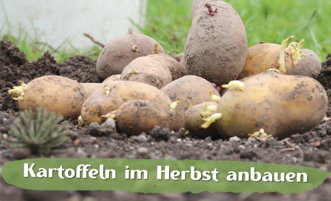 Kartoffeln im Beet