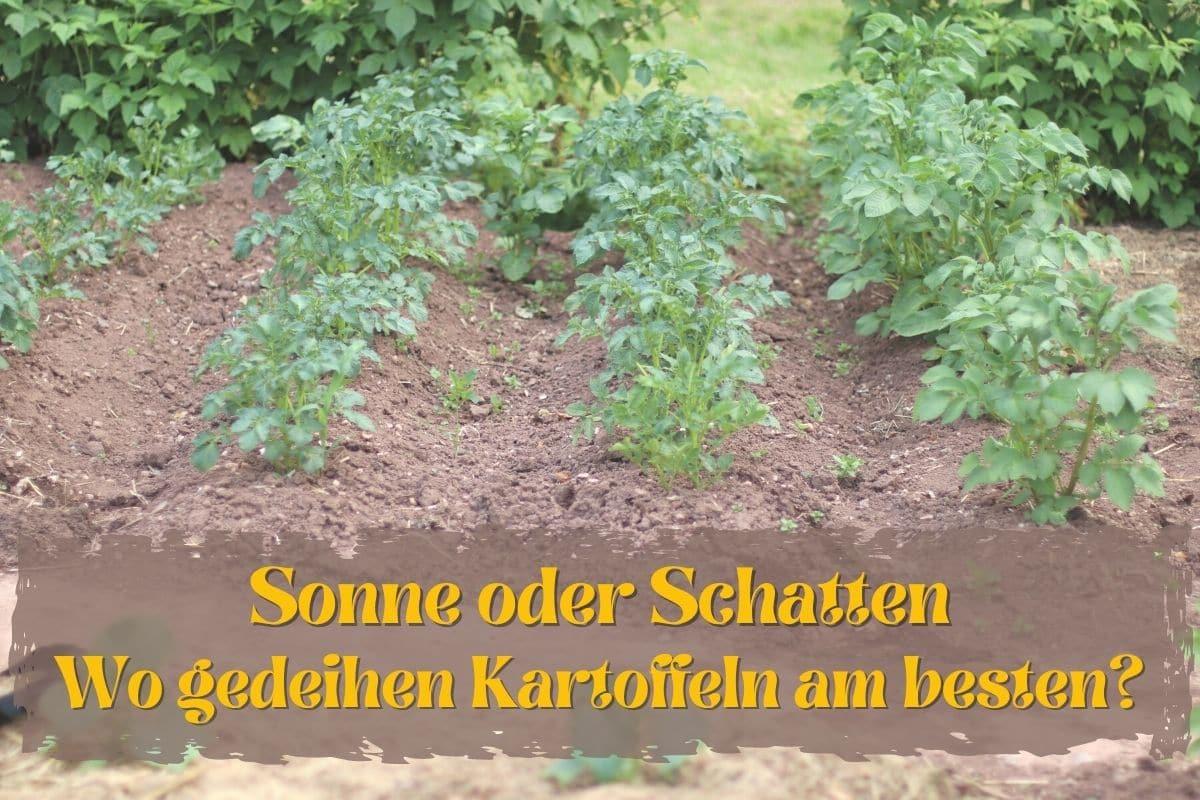 Standort von Kartoffeln