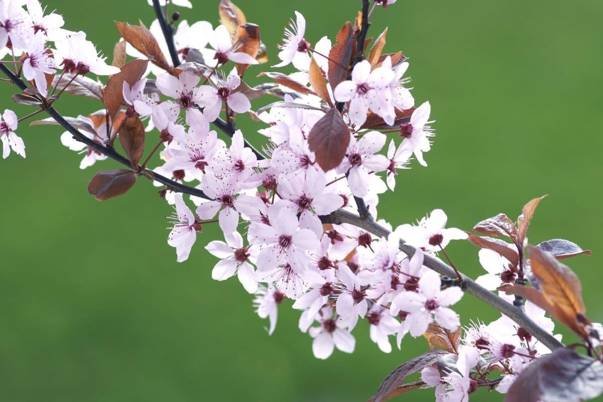 Baum mit weißen Blüten - Kirschpflaume