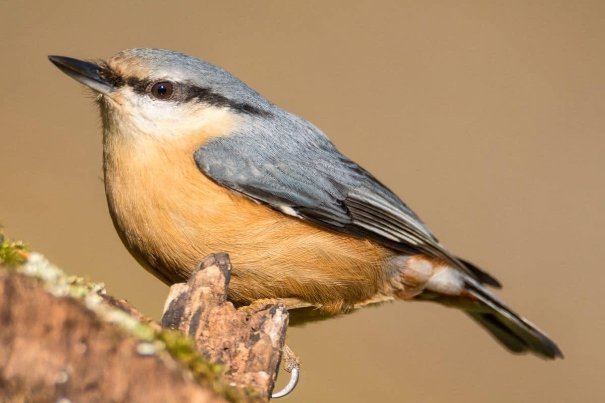 Heimische Standvögel - Kleiber