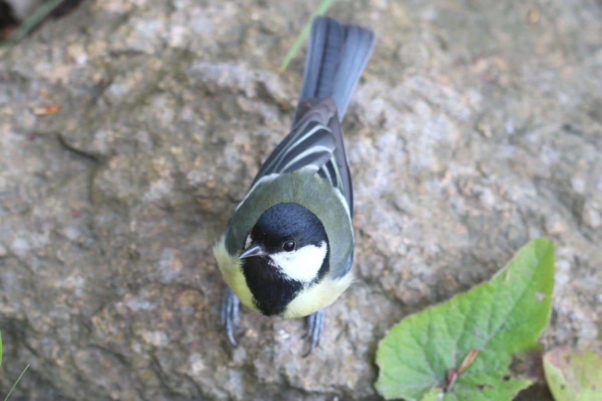 Heimische Standvögel - Kohlmeise